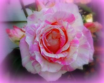Cabana Rose