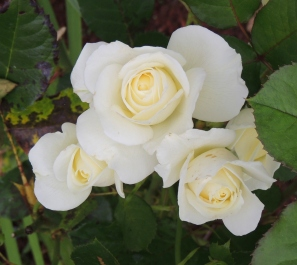 Moon roses...