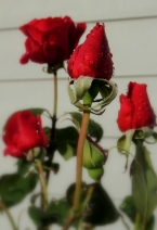 Mr. Lincoln roses...