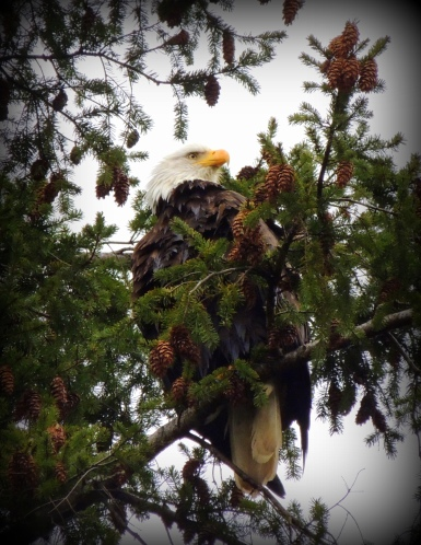 Bald Eagles! There is a breeding pair with a nest in a tree right in my own neighborhood!