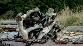 Driftwood: I have pieces in my gardens, I see them every time I drive anywhere on the island.