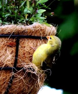 Our state bird: the Golden Finch.