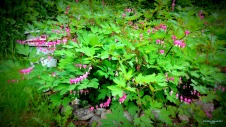 Bleeding Hearts! 517201501