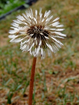 Dandelion 830201401