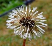 Dandelion 830201402