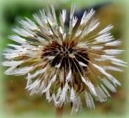 Dandelion 830201403