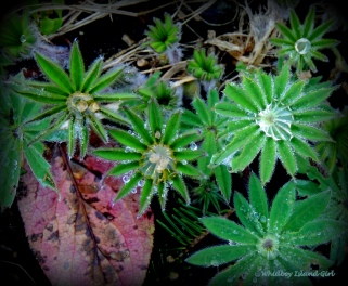 """Young Lupine capturing dew """"diamonds"""" in their leaves...."""