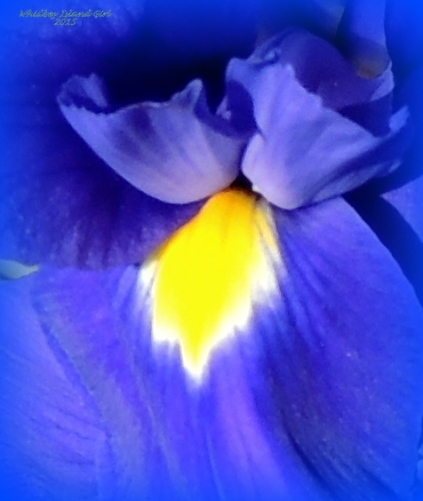 Japanese Iris! 518201501