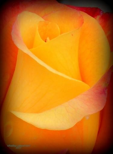 Samba Rio Rose....
