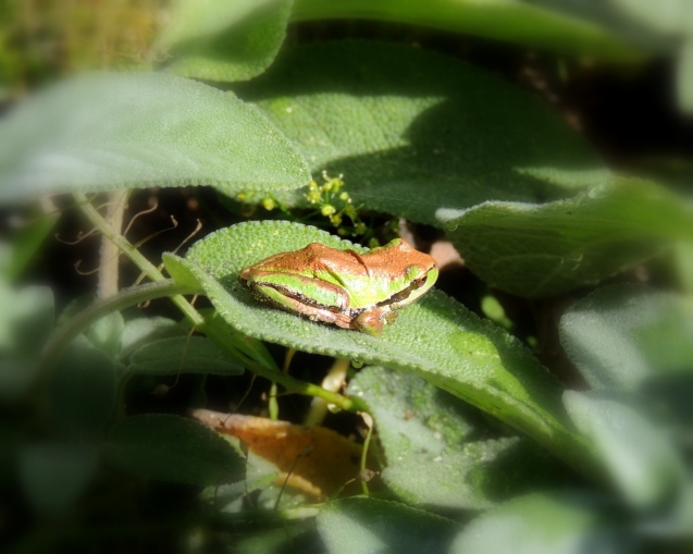 Frog on Thyme 923201501