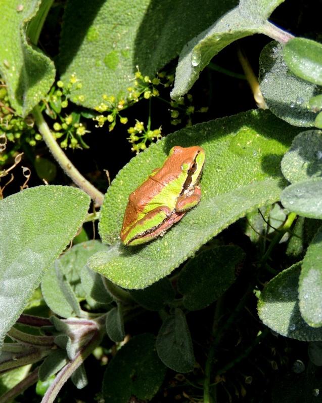 Frog on Thyme 923201502