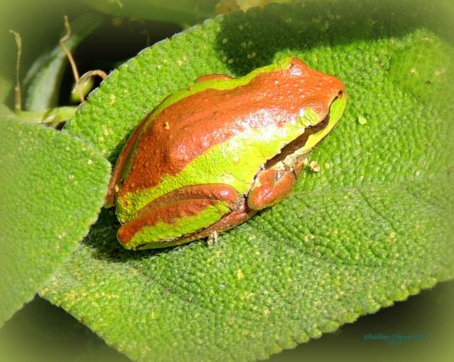 Frog on Thyme 923201505