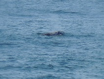 The cliffs of Noyo Harbor are a great place to whale watch! A passing grey whale....