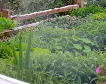 The garden where the chef's grow and use herbs and vegetables in their dishes.