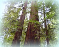 Avenue of the Giants 323201505