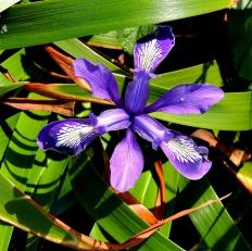 A wild Lily....