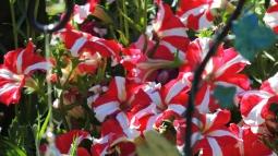 Stripes of petunias!