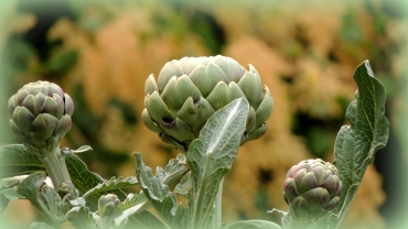 Three artichoke heads...