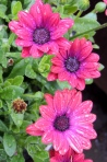 Three dewy African Daisies!