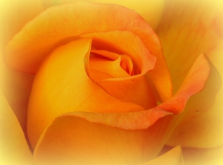 Softened Face of a Rose