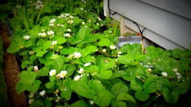 Lushious strawberry plants: a deer's favorite!