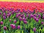 Tulip Dreamin'