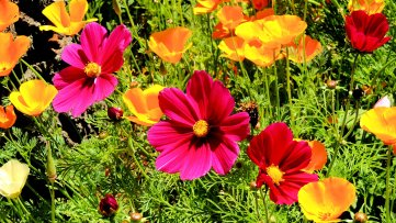 Cosmos And Poppies: 3 Top 20% awards for day, week and month.