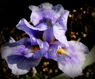 Dewy Iris: Top 20% award for the day of 8/20/16; Top 20% award for the month of August!