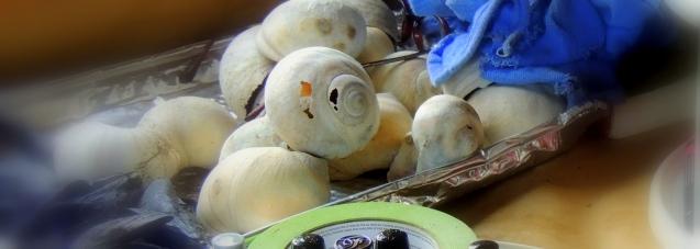 moon-snail-shells