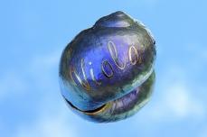 violas-shell