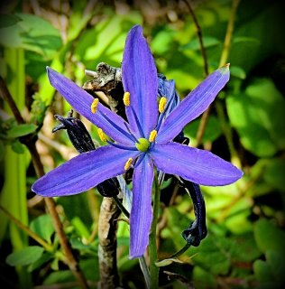 A closer look at Common Camas...