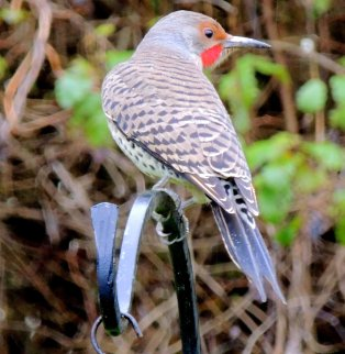 Red Shafted Flicker