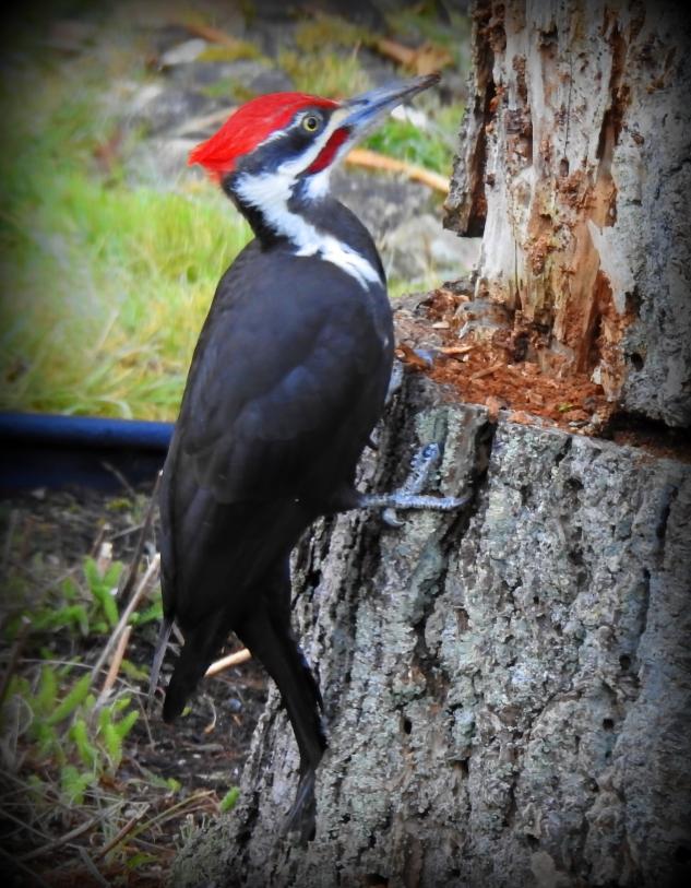 Pileated Woodpecker 10
