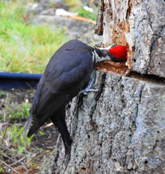 Pileated Woodpecker 9